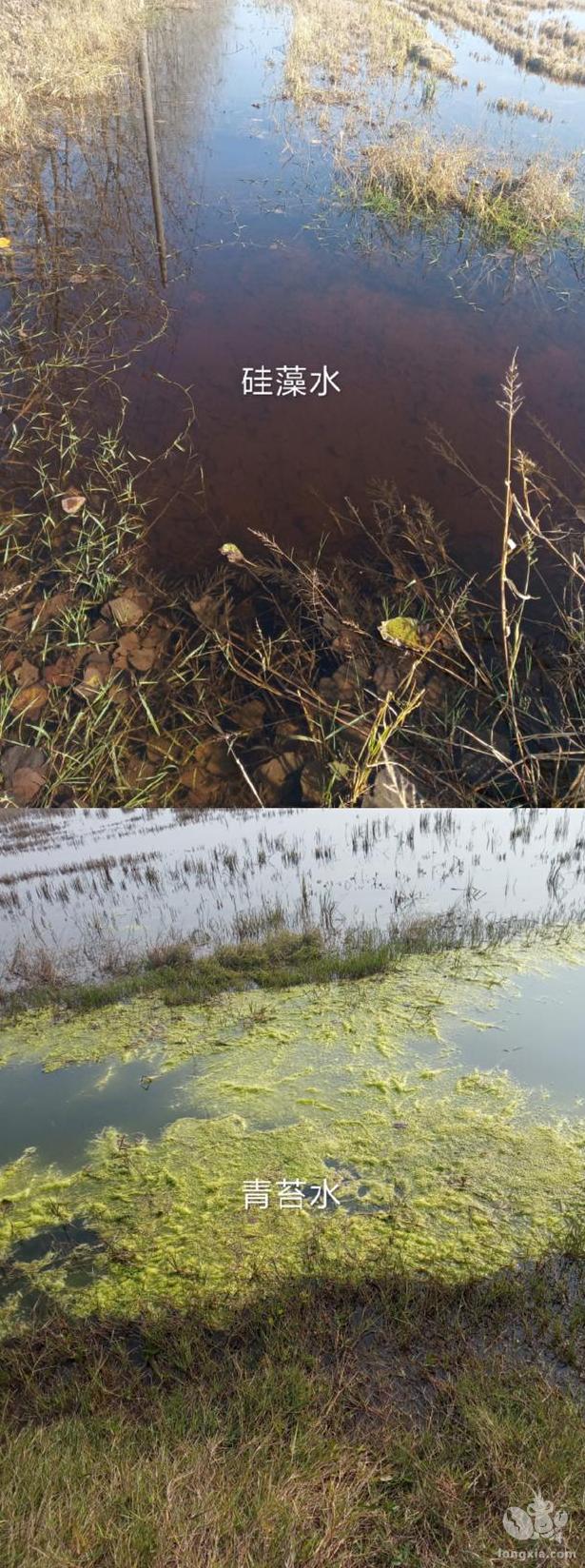 冬季虾田青苔过多,小龙虾养殖户可以通过培育硅藻水来抑制青苔