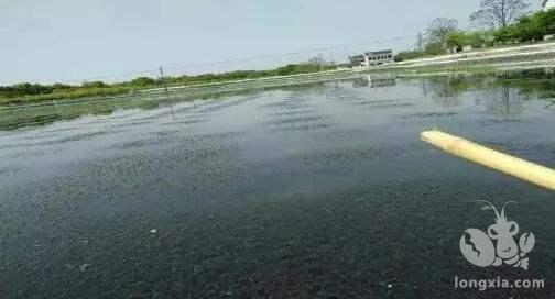 明年河蟹塘里该不该继续套养小龙虾?