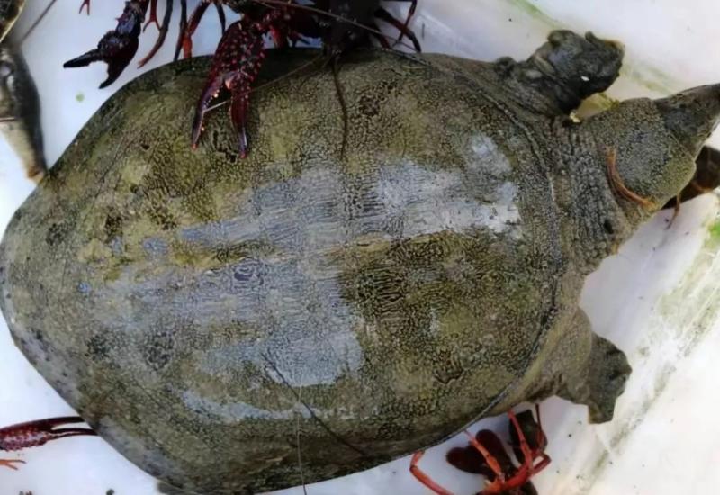 小龙虾养殖未来还有戏吗?试试虾池里养甲鱼