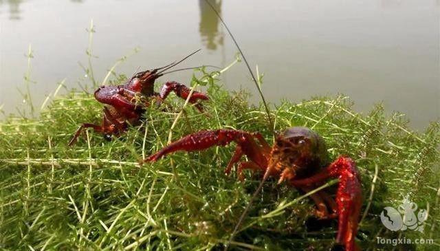 解读:如何让小龙虾尽早出洞孵化幼苗?
