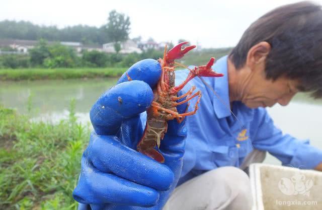 小龙虾个头太小,卖不了好价钱!这是由什么原因导致的呢?