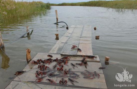 水质的好坏直接影响小龙虾的养殖效益,你知道如何管理吗?