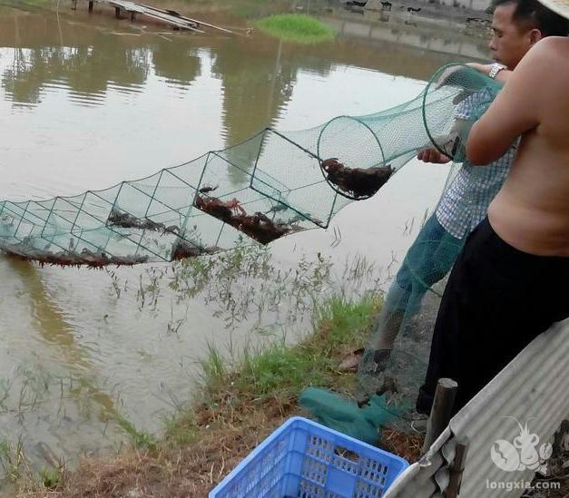 小龙虾养殖,一般一亩池要多少地笼合适?看下这里就清楚了