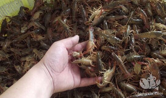 室内小龙虾的养殖技术