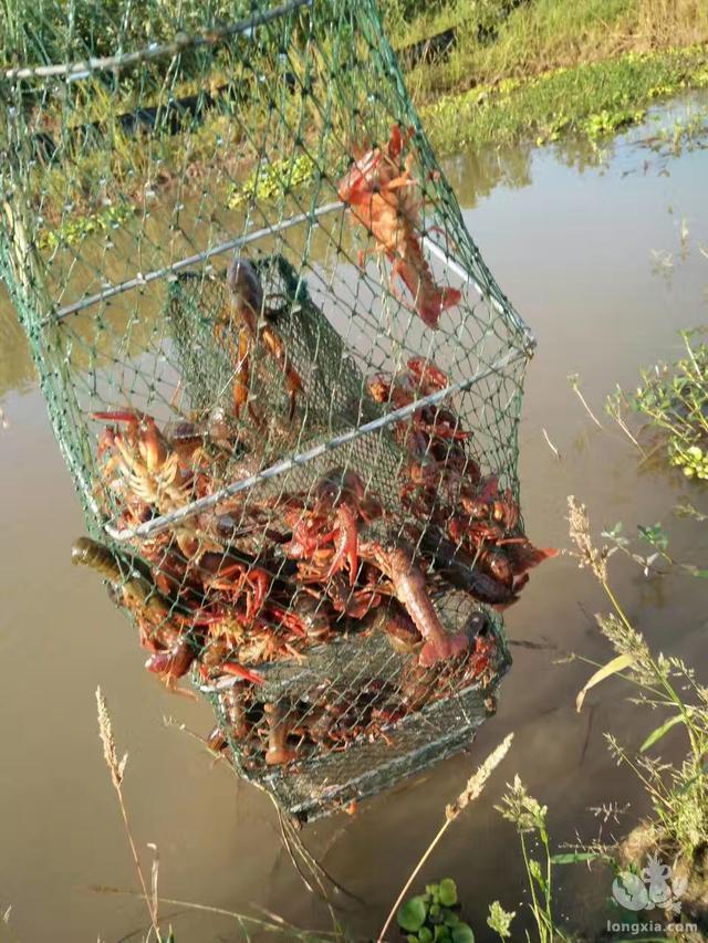 湖北龙虾为何比往年便宜一半多的真正原因,养殖户还有利润吗
