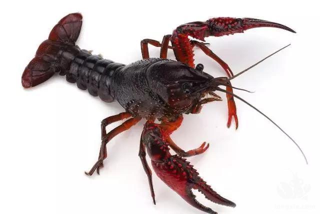 养殖小龙虾到底赚钱不赚钱,靠不靠谱?老司机告诉你真实养殖技术