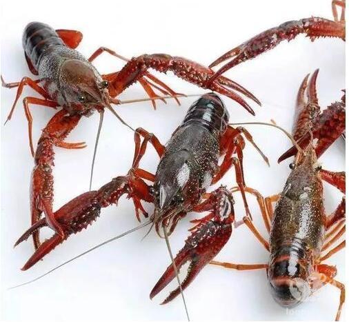 春季小龙虾的饲养方法和注意事项