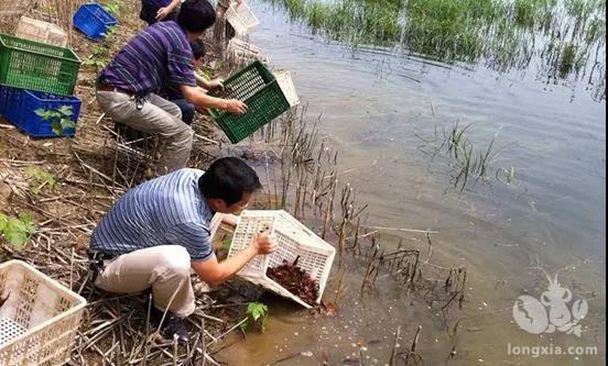 小龙虾苗的最佳投放时间及放养密度,你都做对了吗
