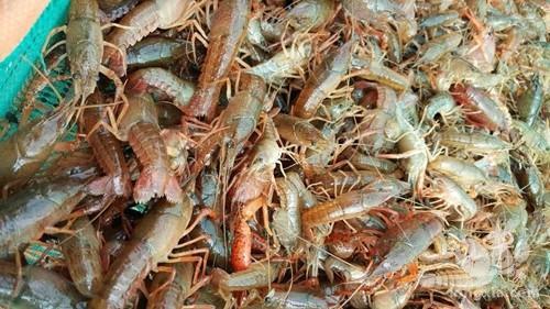 龙虾苗子放进去多久进食?