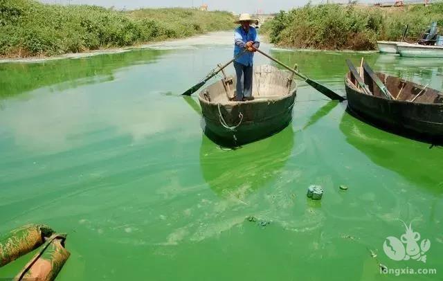 小龙虾养殖注意,温度高,藻类繁殖快,不注意这点你将破产!