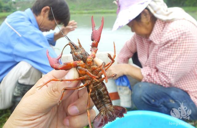 小龙虾饲料投喂管理