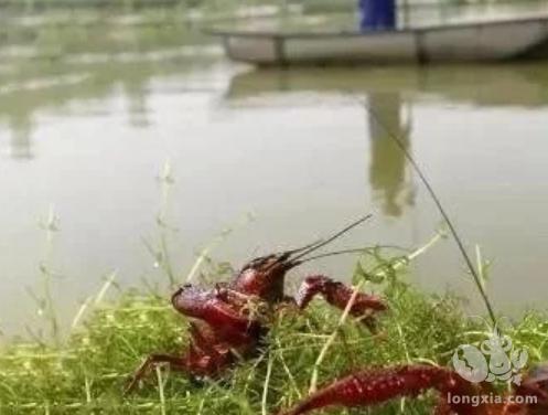 小龙虾池塘养殖技术注意这8点