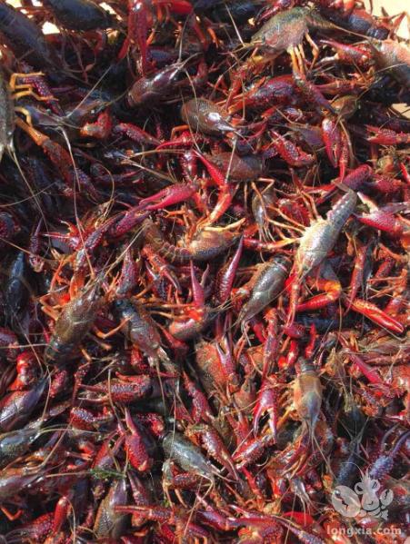 强烈推荐一个最有效的突破小龙虾养殖困境的方法