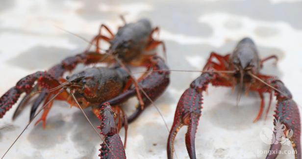 该如何预防小龙虾软壳或蜕壳未遂造成死亡,蜕壳期间被同类吃掉