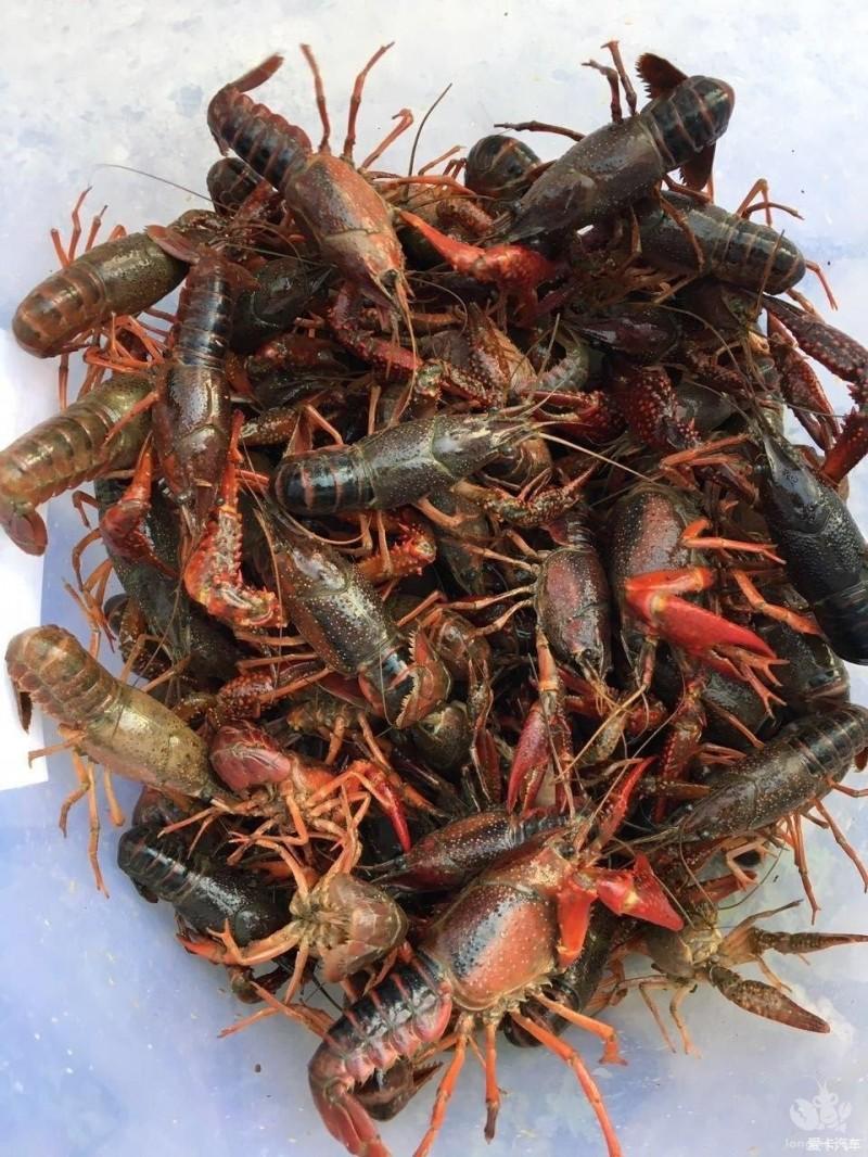 养殖小龙虾需要注意的八大要点