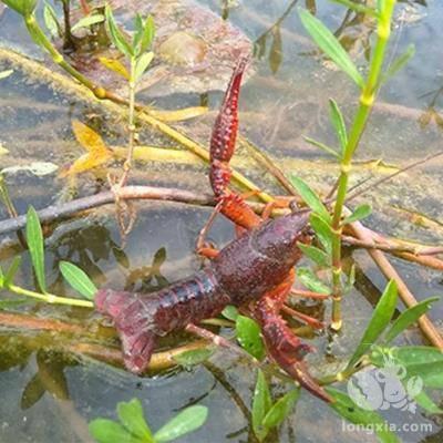 小龙虾突然不进食了,这几种原因你了解吗?