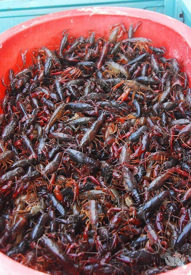 养殖小龙虾为什么要晒塘?应该怎样晒塘?