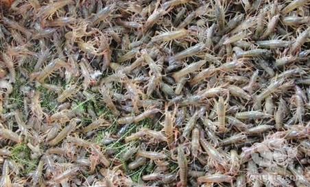 淡水龙虾的苗种繁育模式