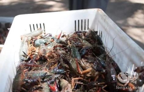 小龙虾养殖行业的三大坑
