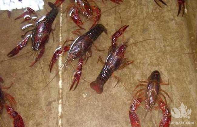 小龙虾适合处于哪几种环境才能生长得更好?