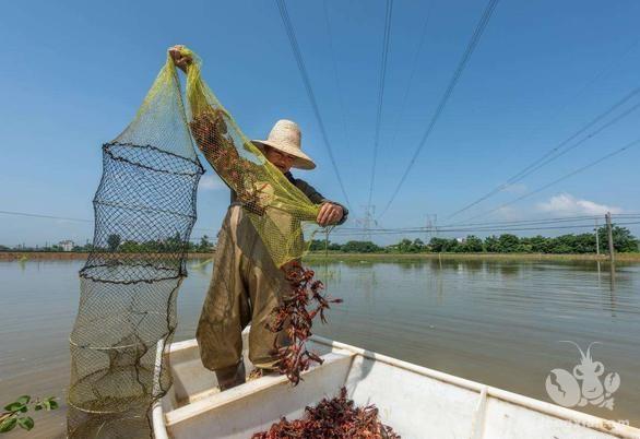 稻虾养殖水质四项指标之—氨氮的危害与形成机制以及防控措施