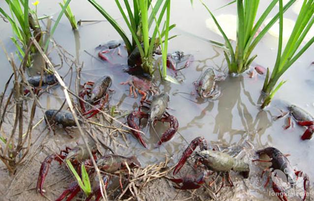 龙虾亲虾选择技术