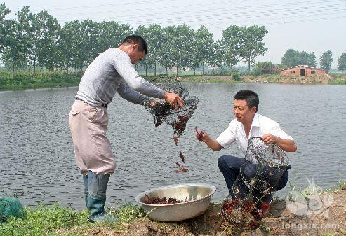 怎样的小龙虾养殖池才能让小龙虾高产?