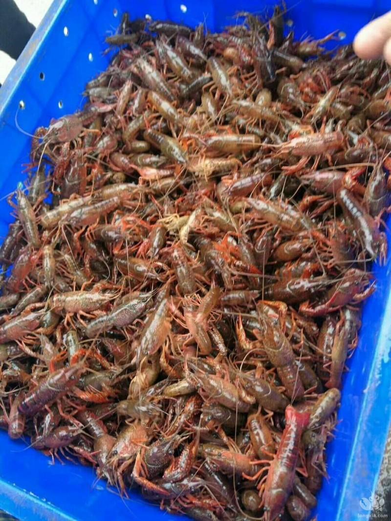小龙虾投苗的几个方面你了解吗?