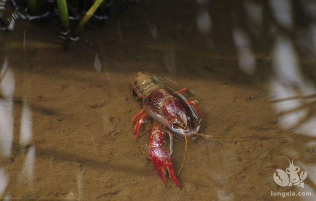 如何减少人工养殖下小龙虾打洞的情况