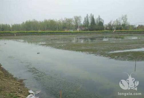 要想高效的养殖淡水龙虾,池塘管理你得了解