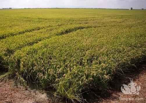 稻田小龙虾养殖的好处以及注意事项