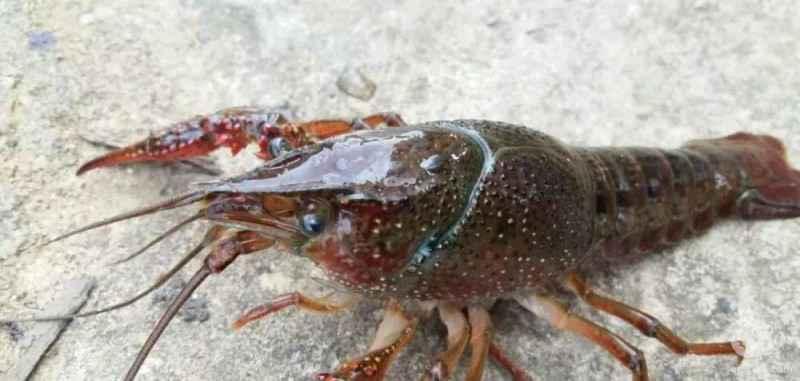 小龙虾做好三大关,来年产量翻一番