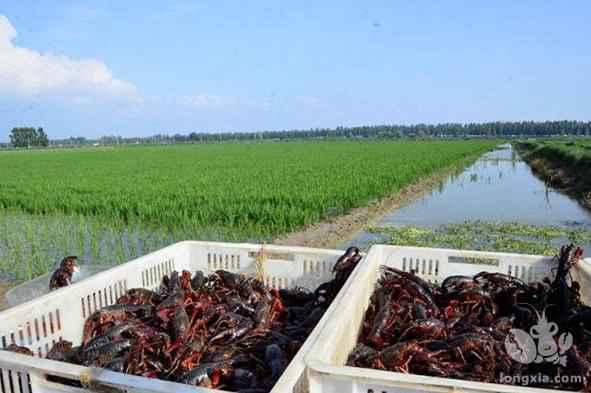 稻虾共生,走出产业兴旺好路子