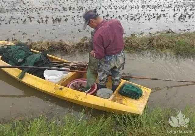 稻虾接近尾声,怎样能把种植水稻期间影响降到最小
