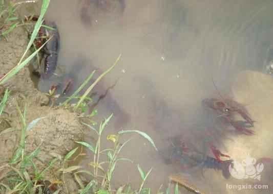 冬季小龙虾养殖如何管理?一起来了解冬季小龙虾养殖管理技术
