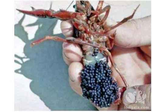 小龙虾养殖投喂四大注意事项