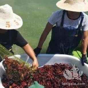 哪种环境下是养殖小龙虾最优质的