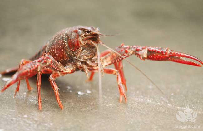 小龙虾养殖过程中的常见病害、防治方法