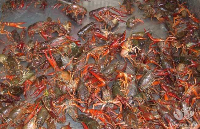 小龙虾养殖真的很容易吗?风险都在这里了