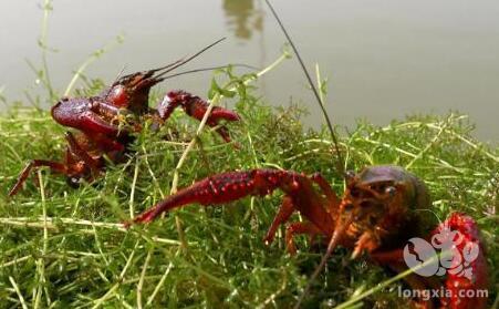 养殖龙虾需要什么条件才养的好?