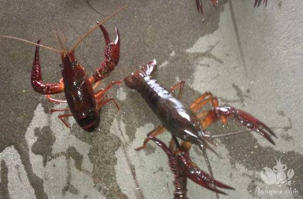 软壳龙虾的优点及养殖技术