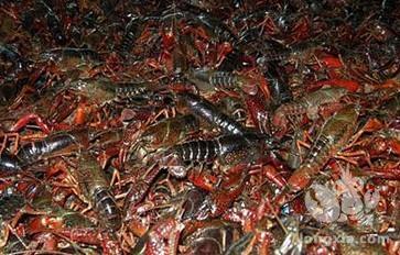 养殖小龙虾为什么要强调,上水淹洞要坚持少量缓慢多次的原则