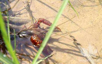 小龙虾塘水质很肥需要补钙吗?