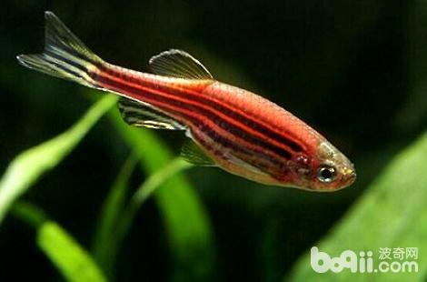 热带鱼下崽会有什么样变化?