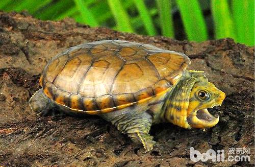 鹰嘴龟容易出现的品相问题