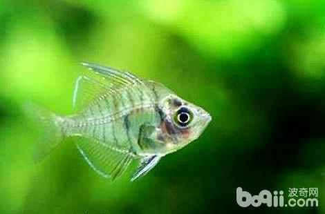 冬天要怎么去饲养热带鱼?