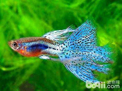 凤尾鱼怎么样?凤尾鱼的养殖方法