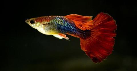 孔雀鱼烂尾怎么办?孔雀鱼烂尾与治疗