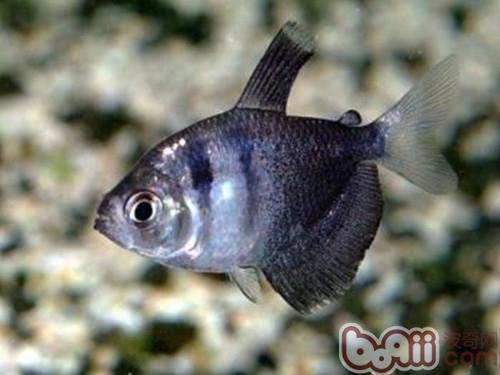 黑裙鱼的饲养环境