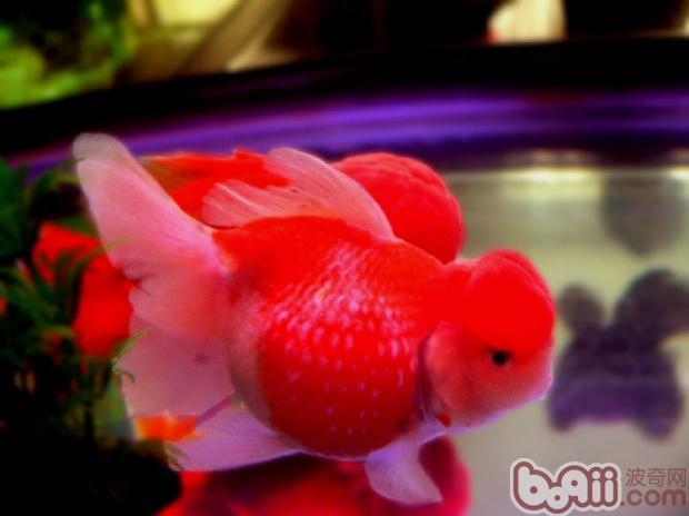 金鱼栽头与体型关系解析
